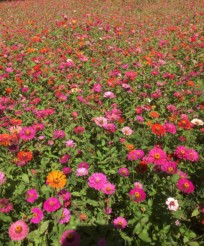 The Zinnia Field
